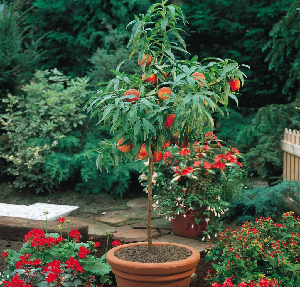Dwarf Peach Tree-Amazon