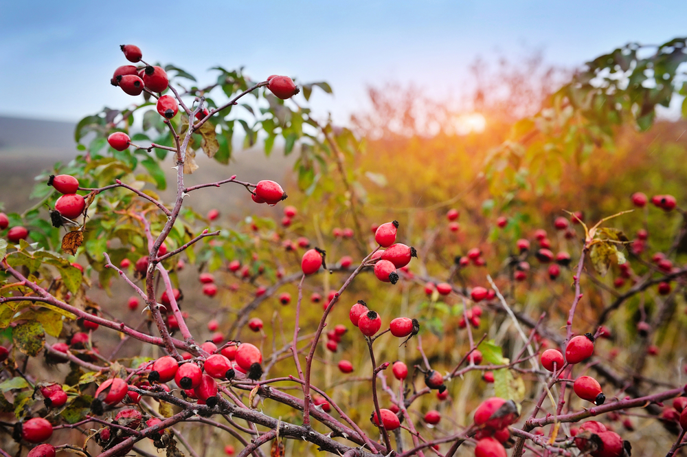 Rosehips on bush