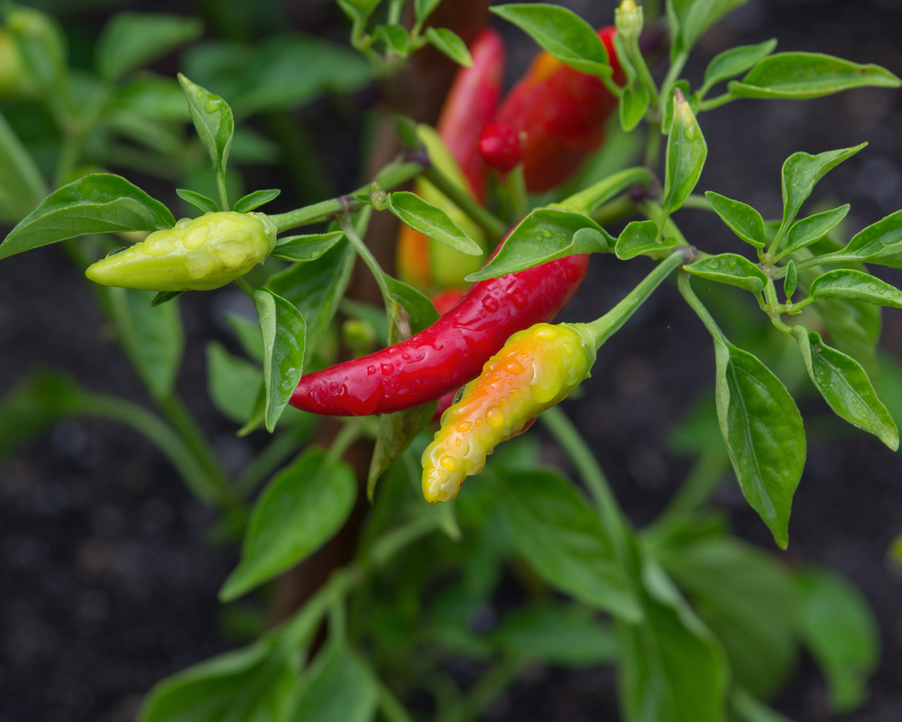 Colorful Chili Peppers, Pepper Plant