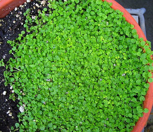 Edible Ground Cover Plants To Foodscape Your Yard