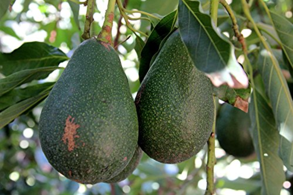 Dwarf Avocado Tree-Fruits-Amazon