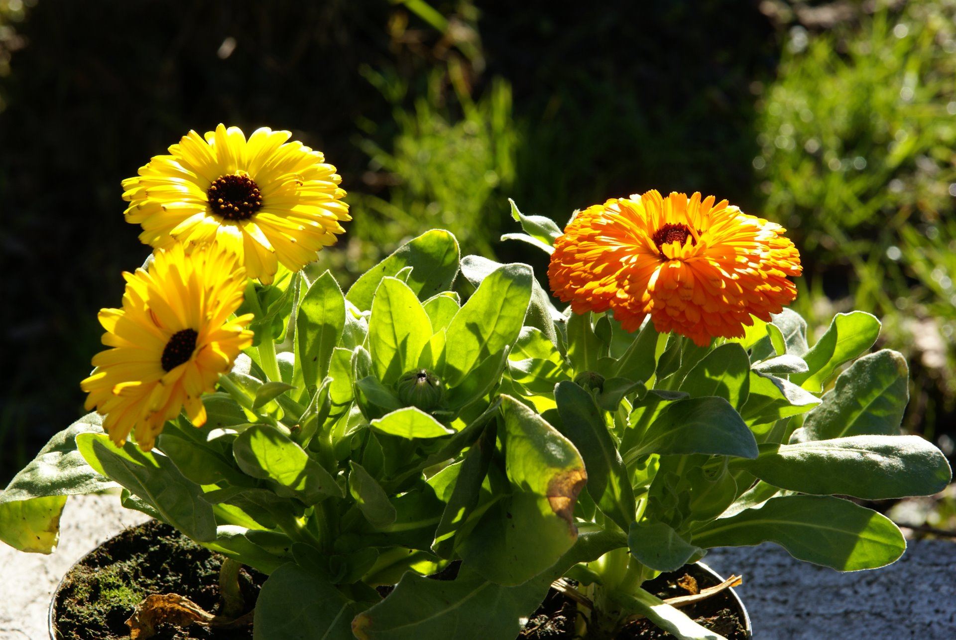 calendula officinalis, photographed with Carl Zeiss