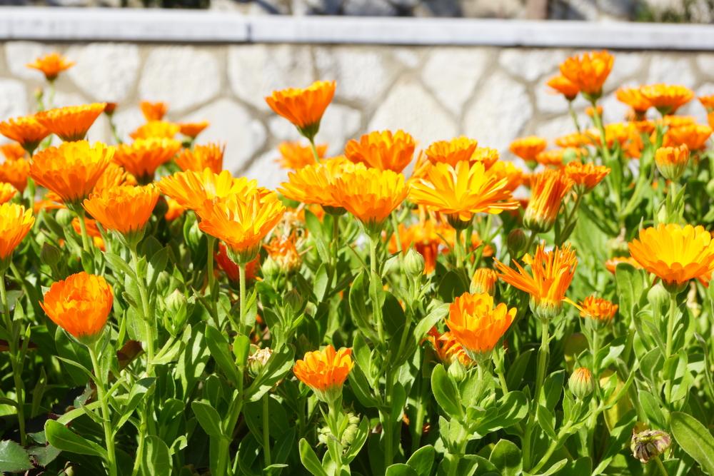 calendula officinalis, shutterstock_183984434