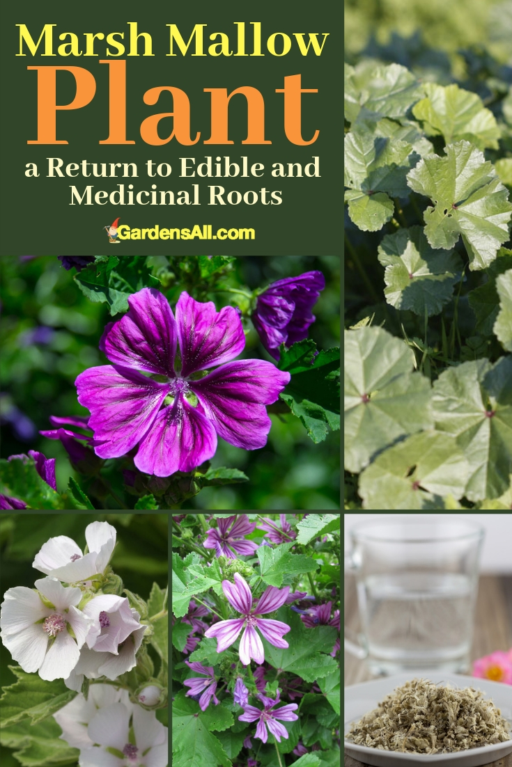 Wild edible and medicinal, the marsh mallow plant, after which the marshmallow treat was named, comes from a large family of mallows. Called Malvaceae, the Mallow family includes okra, hibiscus, and cottons. #Flower #Tips #Herb  #DIY #MarshMallowPlant #MallowPlant #ForPain #HealthBenefits #Garden #Tea #Recipes #NaturalMedicine #MedicinalPlantsAndHerbs #NaturalRemedies #Remedies #HomeMade #HowToMake #MarshMallowPlantUses