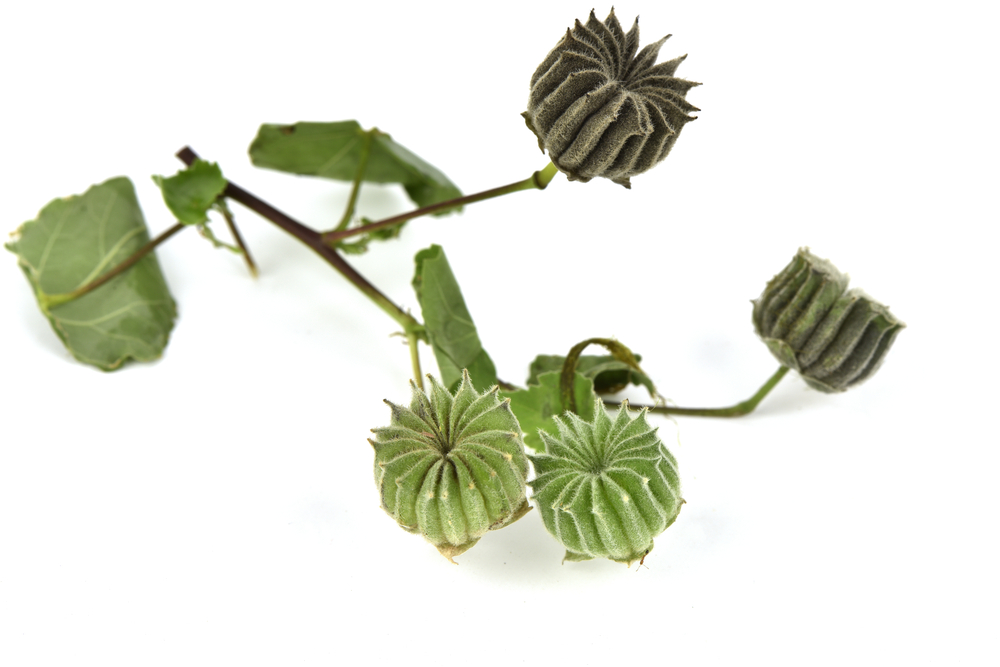 Indian-mallow-seeds-on-stem