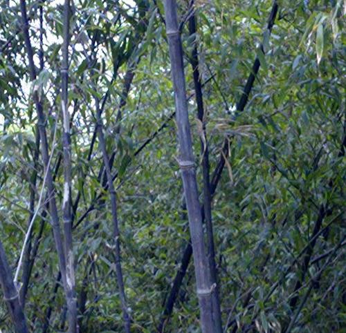 Purple Bamboo on Amazon