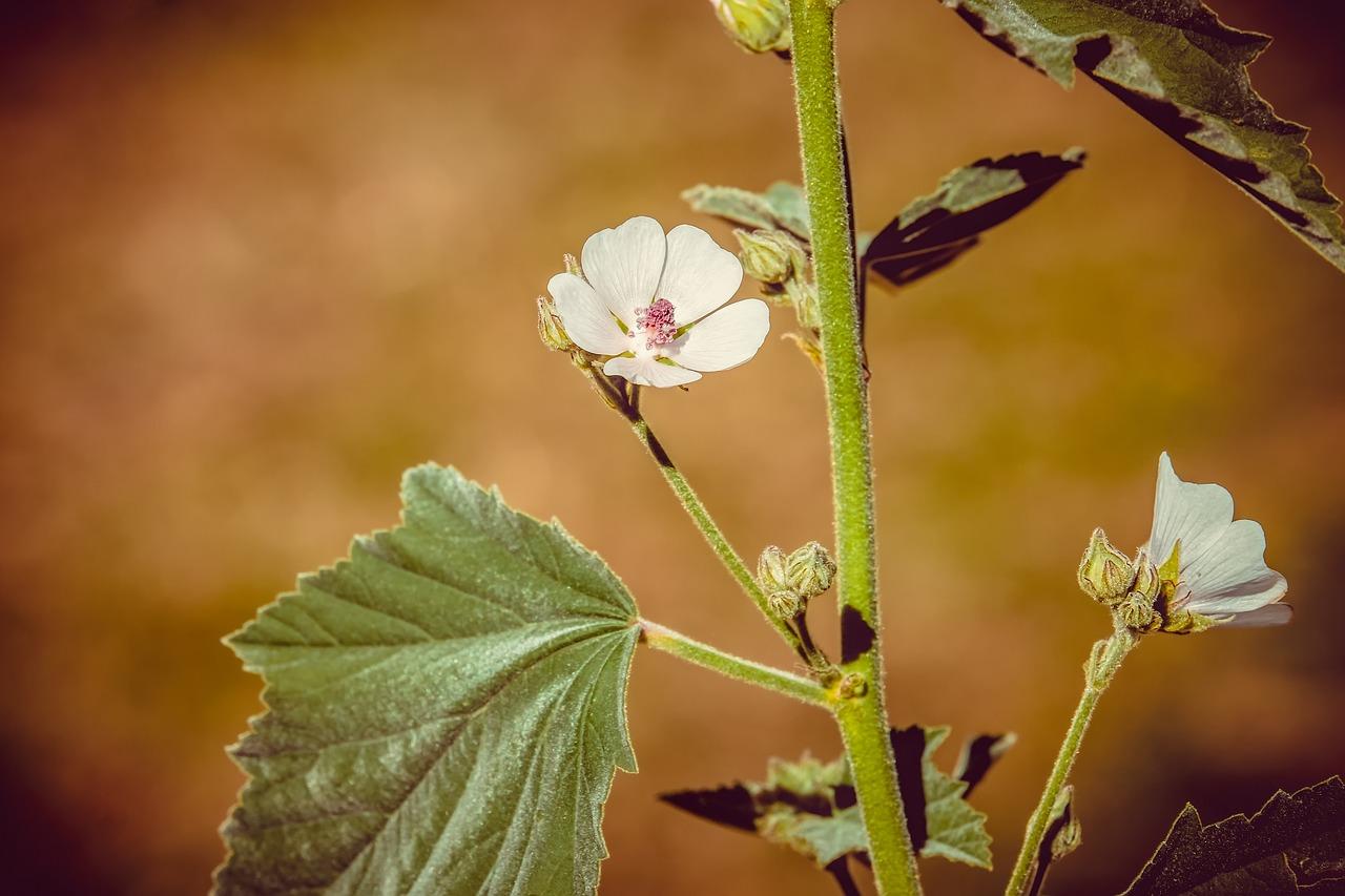 Marshmallow plant, blossom, leaves