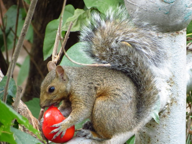 GA_Squirrel_Tomato