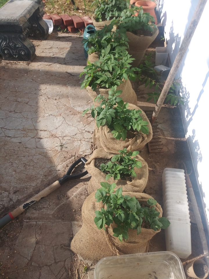 Growing potatoes in burlap bags, grow bags