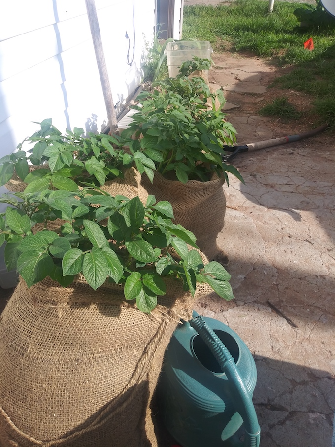 burlap grow bags, growing potatoes