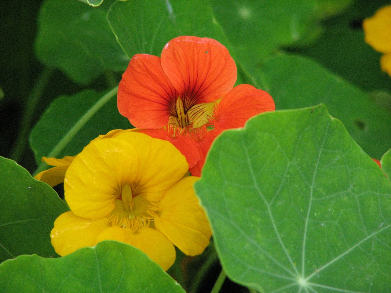 Nasturtium flowers and leaves are both edible and nutrition.