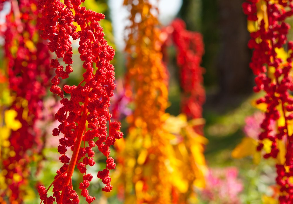 QUINOA - HIGH PROTEIN PLANT TO GROW