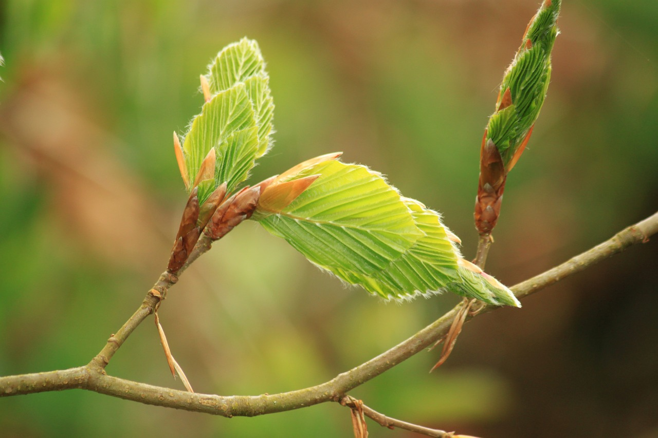 New Shoots on Beech Tree and how to propagate plants with rooting hormones. #RootingHormones #RootingPlantCuttings