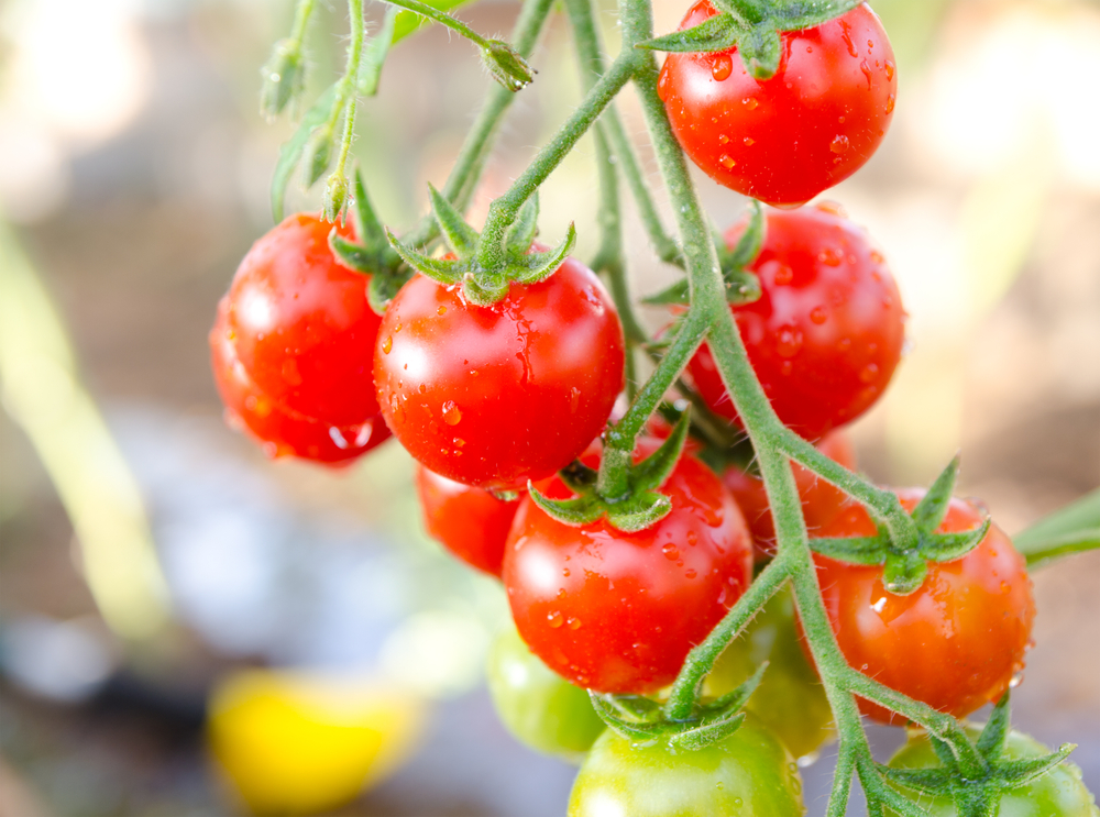 Vine ripe cherry tomatoes are great for growing tomatoes in pots. #GrowTomatoesInPots #CherryTomatoes #TomatoGrowingTips