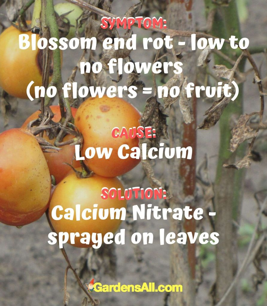 If blossom end rot - low to no flowers, the plant has low calcium. Spray Calcium nitrate on the leaves#Tomato #ColoredTomatoes #OrangeTomatoes #YellowTomatoes #PurpleTomatoes #GreenTomatoes #BlackTomatoes #Ideas #Gardening #Container #DIY #Tips #Planters #Growing #Backyards #Pots #RaisedBeds #Vegetables