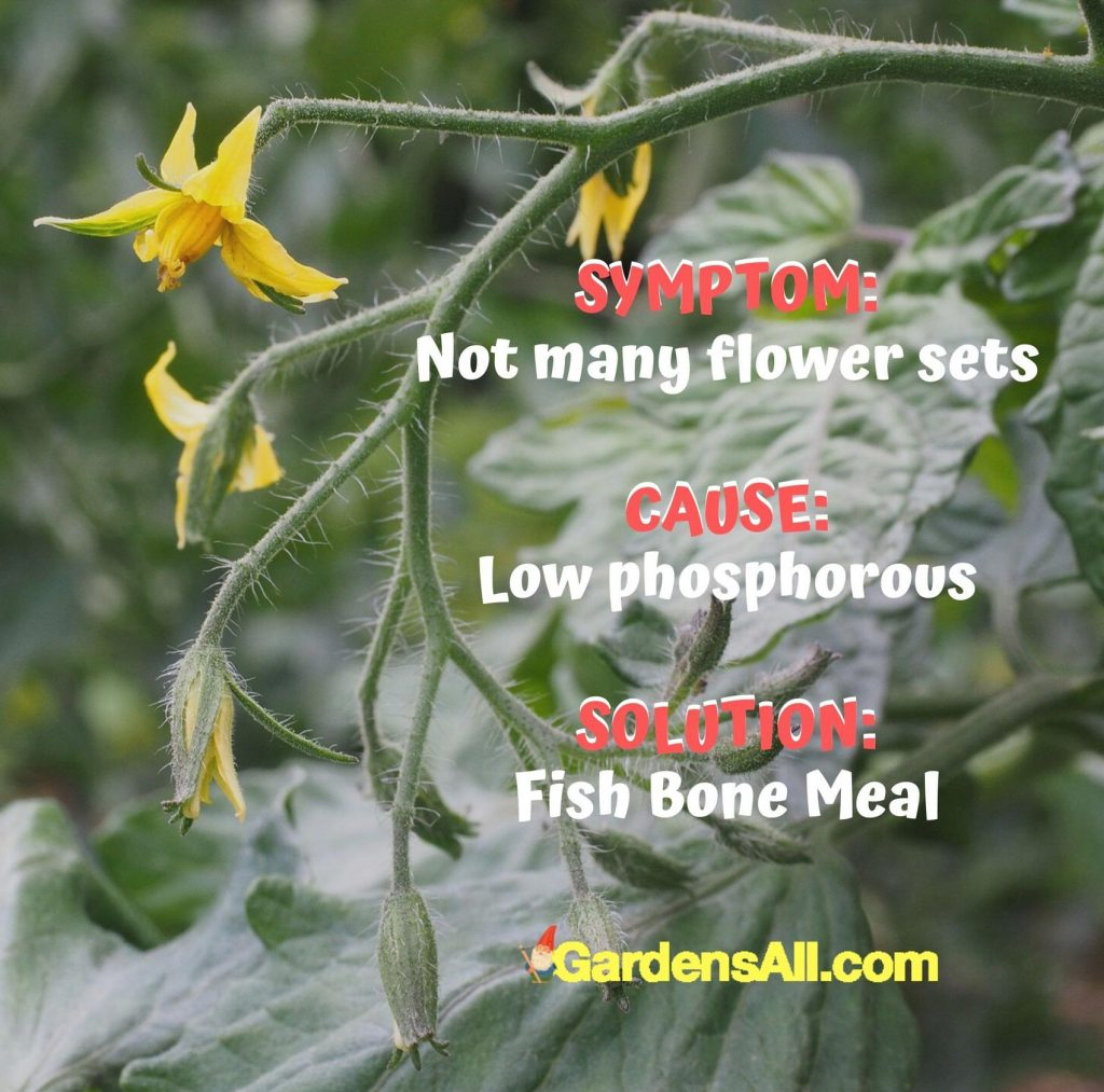 Not many flower sets? It's a sign of low phosphorous. Use Fish bone meal. #Tomato #ColoredTomatoes #OrangeTomatoes #YellowTomatoes #PurpleTomatoes #GreenTomatoes #BlackTomatoes #Ideas #Gardening #Container #DIY #Tips #Planters #Growing #Backyards #Pots #RaisedBeds #Vegetables