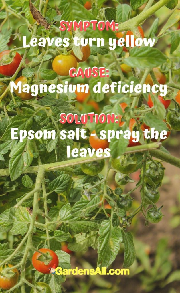 When leaves turn yellow, it is a sign of magnesium deficiency. Use Epsom salt - spray the leaves #Tomato #ColoredTomatoes #OrangeTomatoes #YellowTomatoes #PurpleTomatoes #GreenTomatoes #BlackTomatoes #Ideas #Gardening #Container #DIY #Tips #Planters #Growing #Backyards #Pots #RaisedBeds #Vegetables