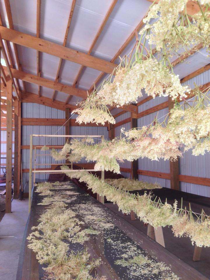 Growing elderberries, elderflowers, drying elderflowers