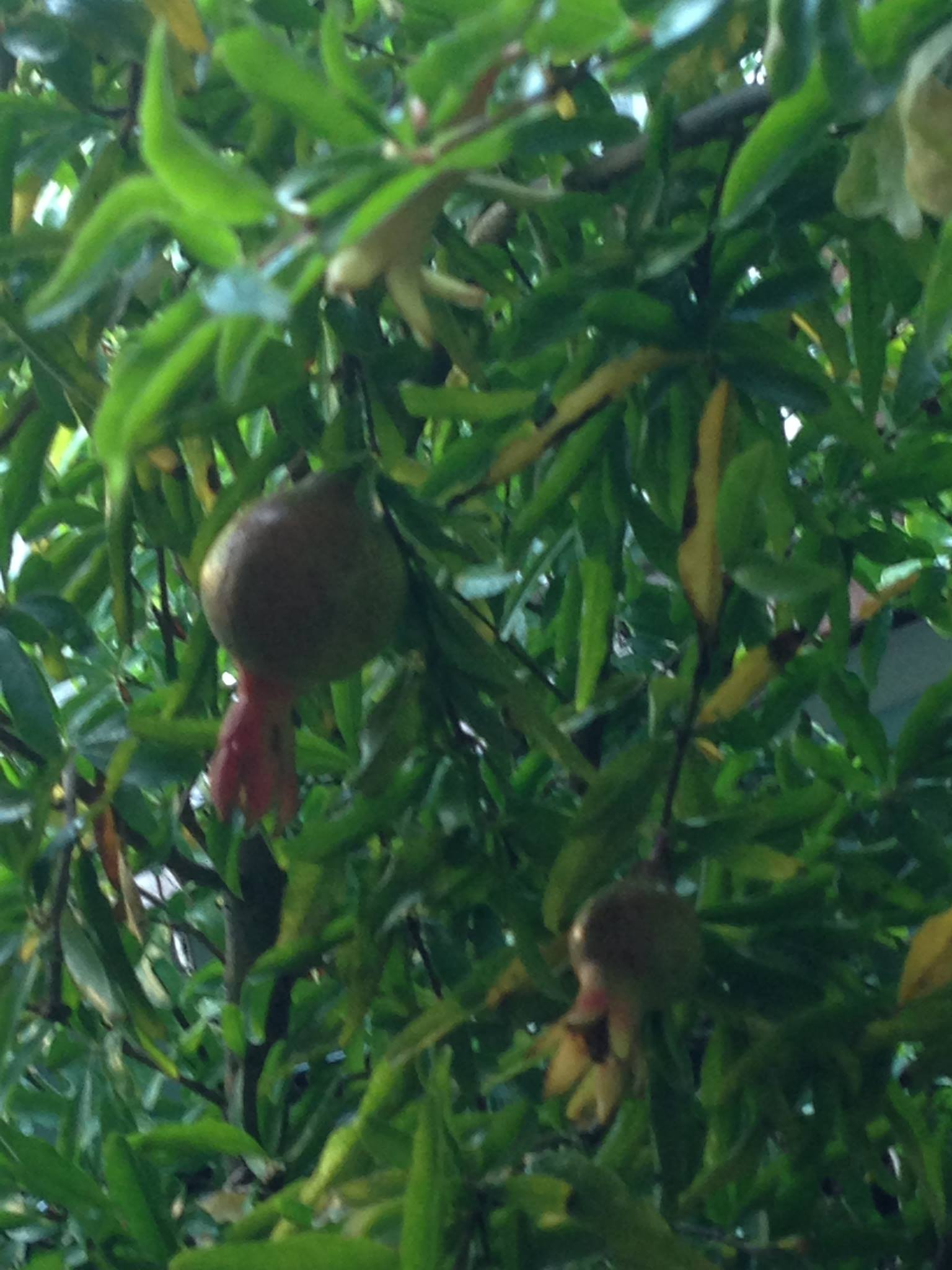 dwarf fruit tree, dwarf pomegranate tree,