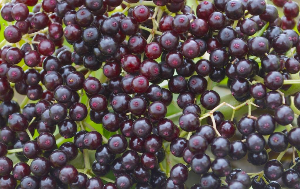 elderberries, green deane, eattheweeds.com,