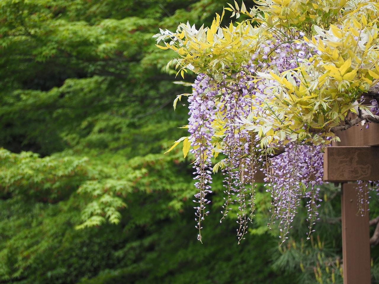 wisteria-739224_1280