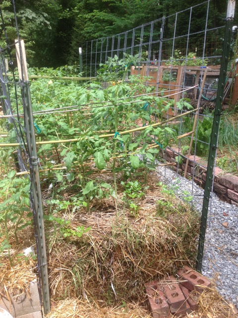 homemade tomato cage, cattle panels for tomato cage