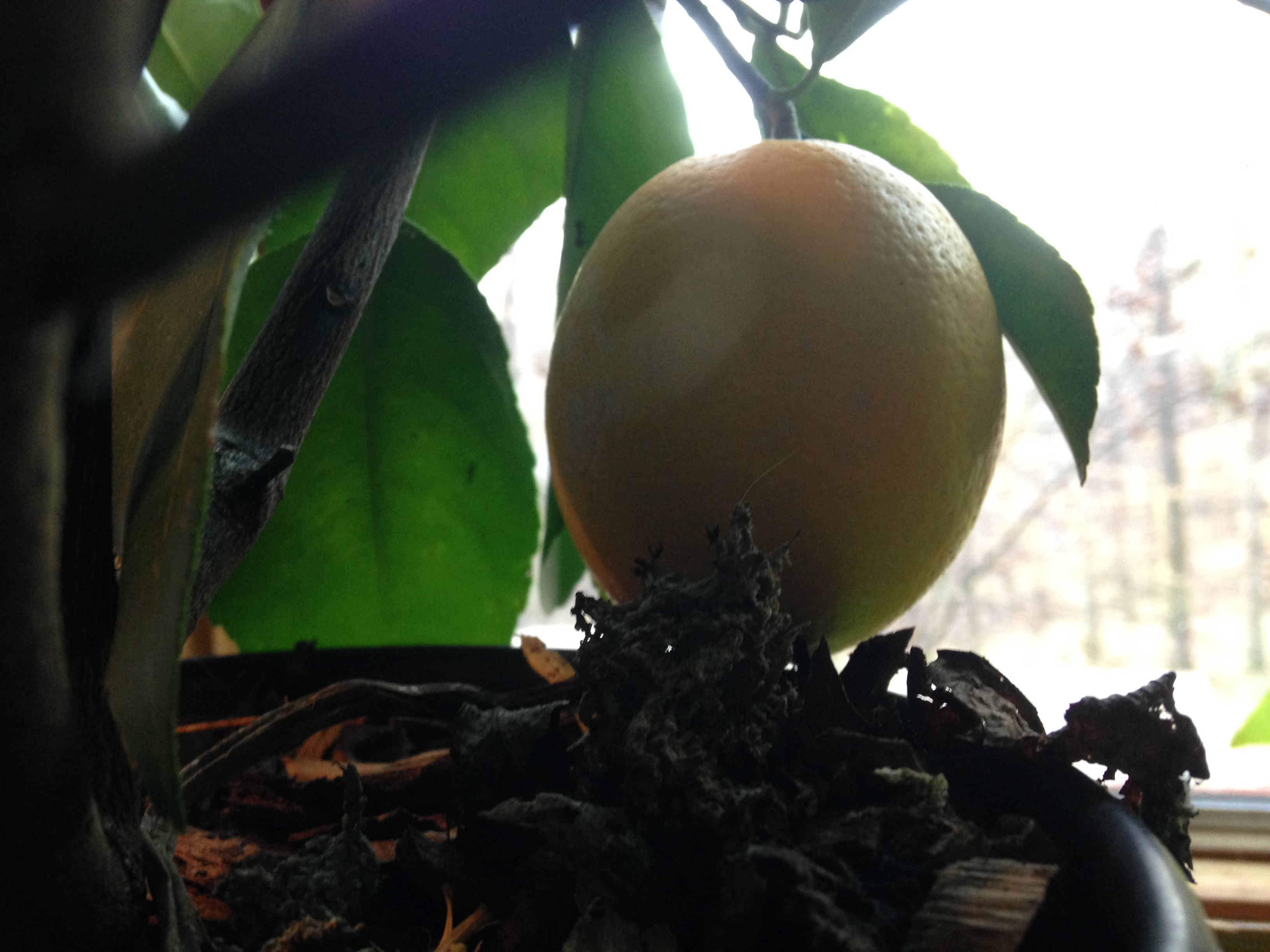 A ready to enjoy Lemon off the Meyers Lemon Tree!