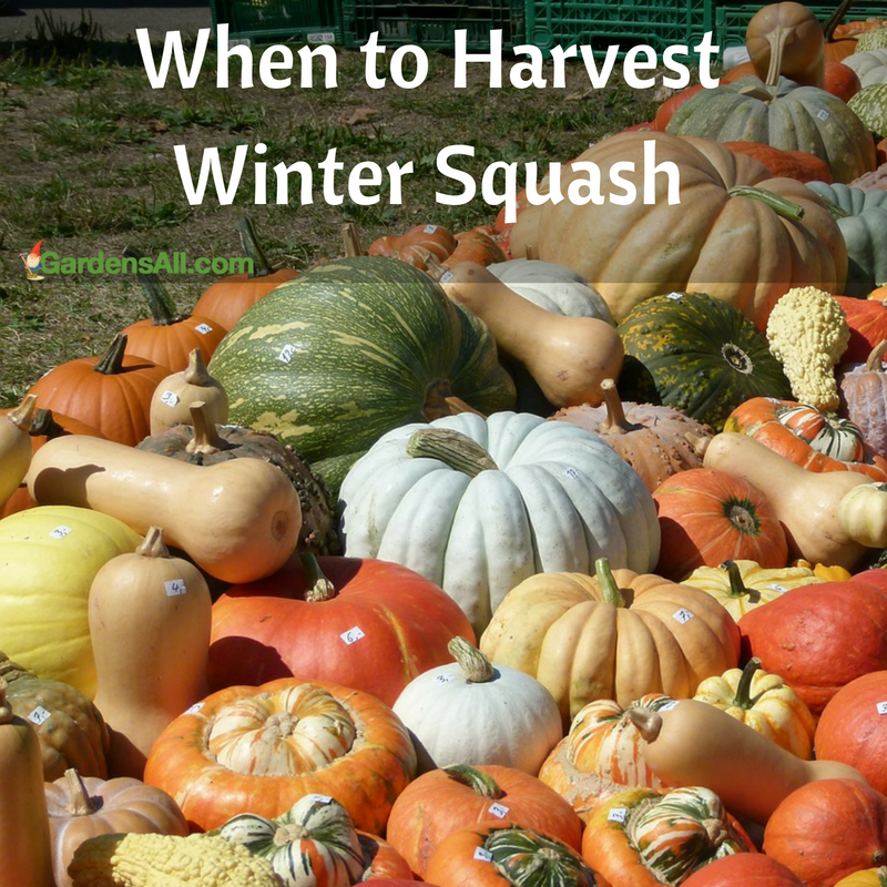 To get an idea of when you can expect to harvest your bounty of winter squash, look at the seed packet of the variety planted.