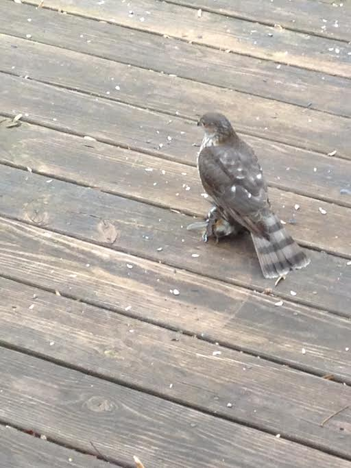 A Sharp-Shinned Hawk with a titmouse in its clutches