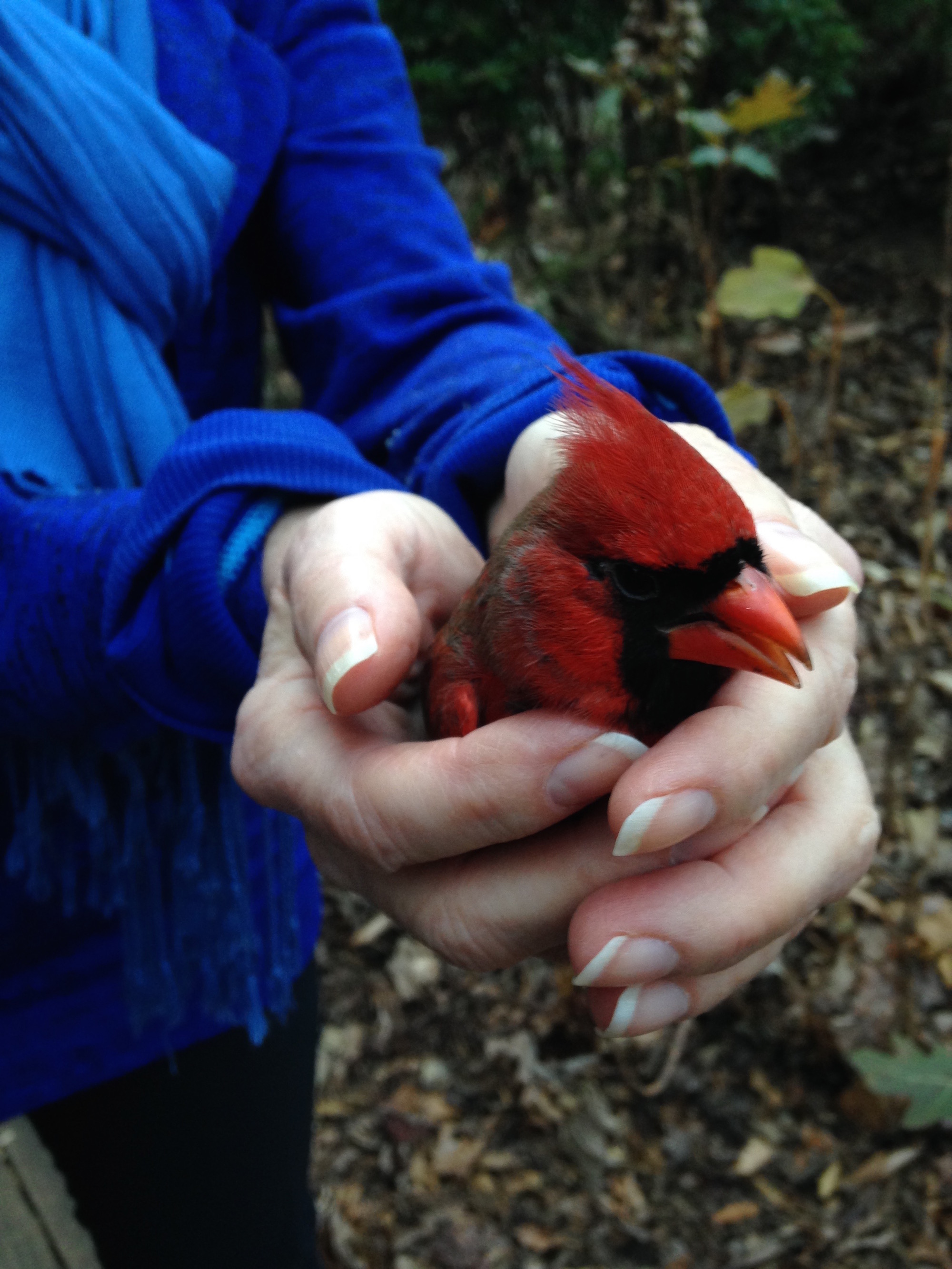 Bird in Hand - cardinal rescue. Keeping him warm and safe from predators while he recover, which he did, though not all do. We've lost a few, so are implementing bird deflector and deterrent measures to try to keep them from flying into our windows. #BirdFlyingIntoWindow #KeepBirdsFromHittingWindows #BirdRescue #CardinalBirdInHand