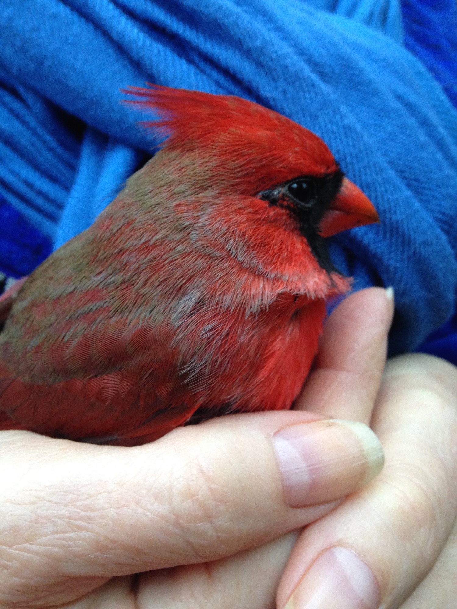 Beautiful Red Cardinal - Bird in Hand, recovers from being stunned after crashing into a window. Some say you shouldn't hold them. We believe that warm and loving hands helps. #BirdRepellents #BirdsHittingWindows #CardinalRescue #BirdRescues #BirdWindowStrikes