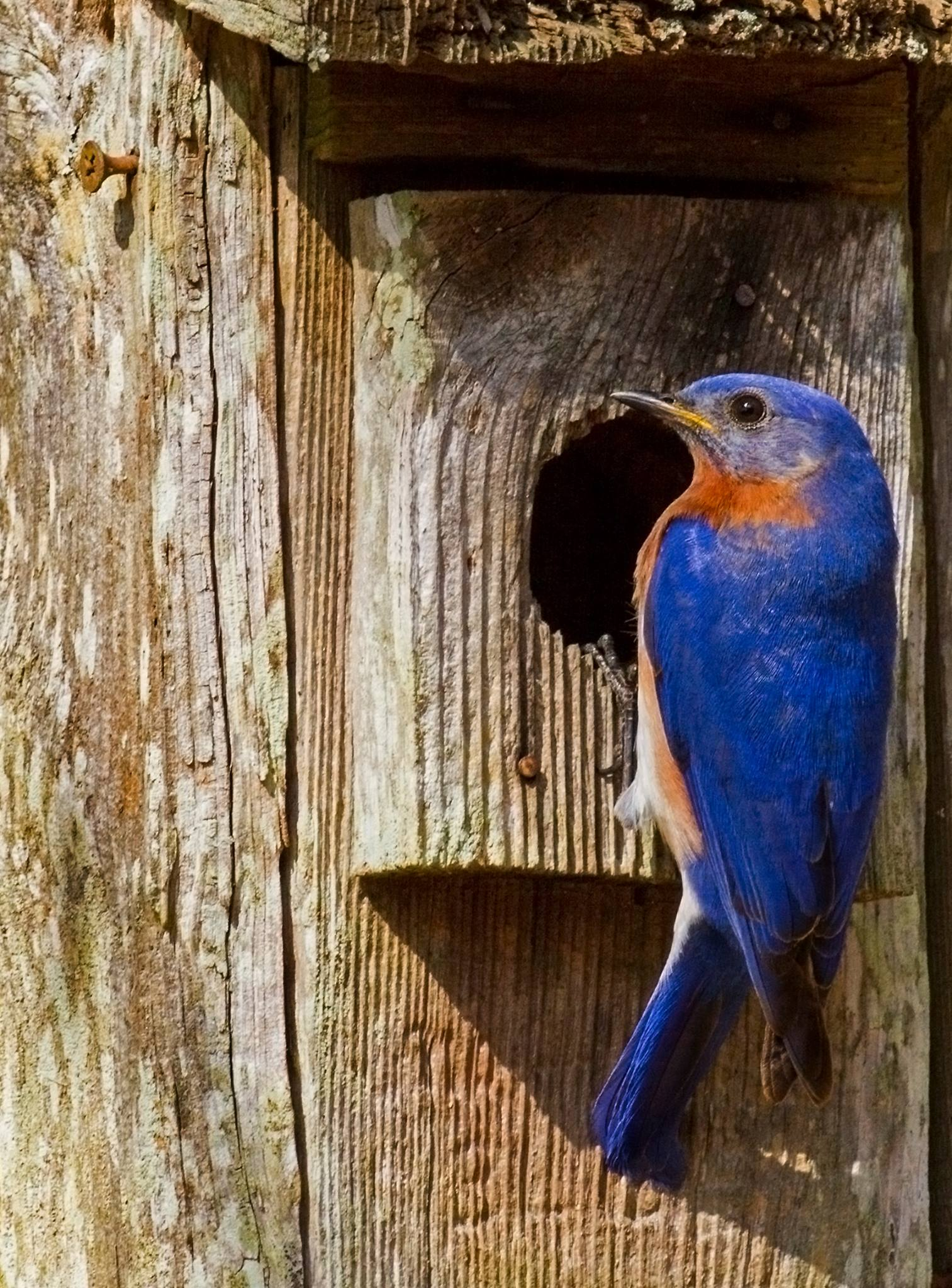 Bluebird Image and Bluebird house