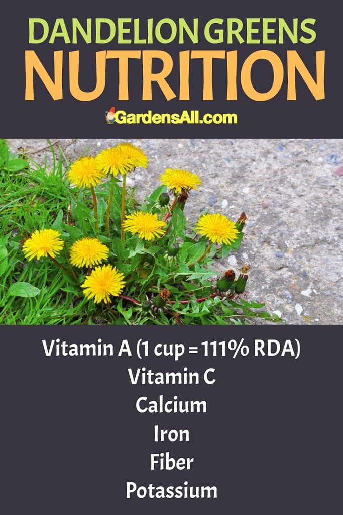 Dandelion is also rich in vitamin C, calcium, iron, fiber and potassium, and is known to be good for the liver and is subsequently a common ingredient in detox teas. #Remedies #ToGrow #Garden #Spices #HealthBenefits #Recipes #Photography #List #ForPain #Wild #Uses #HowToMake #ForBeginners #Tea #Tips #Flu #grapefruit #grapefruitseed