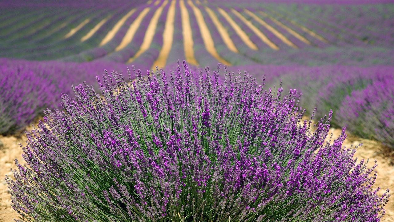 Lavender works well in rock gardens and walkways. #GrowingLavender #LavenderOil #LavenderTincture #HowToMakeLavenderOil #GardensAll