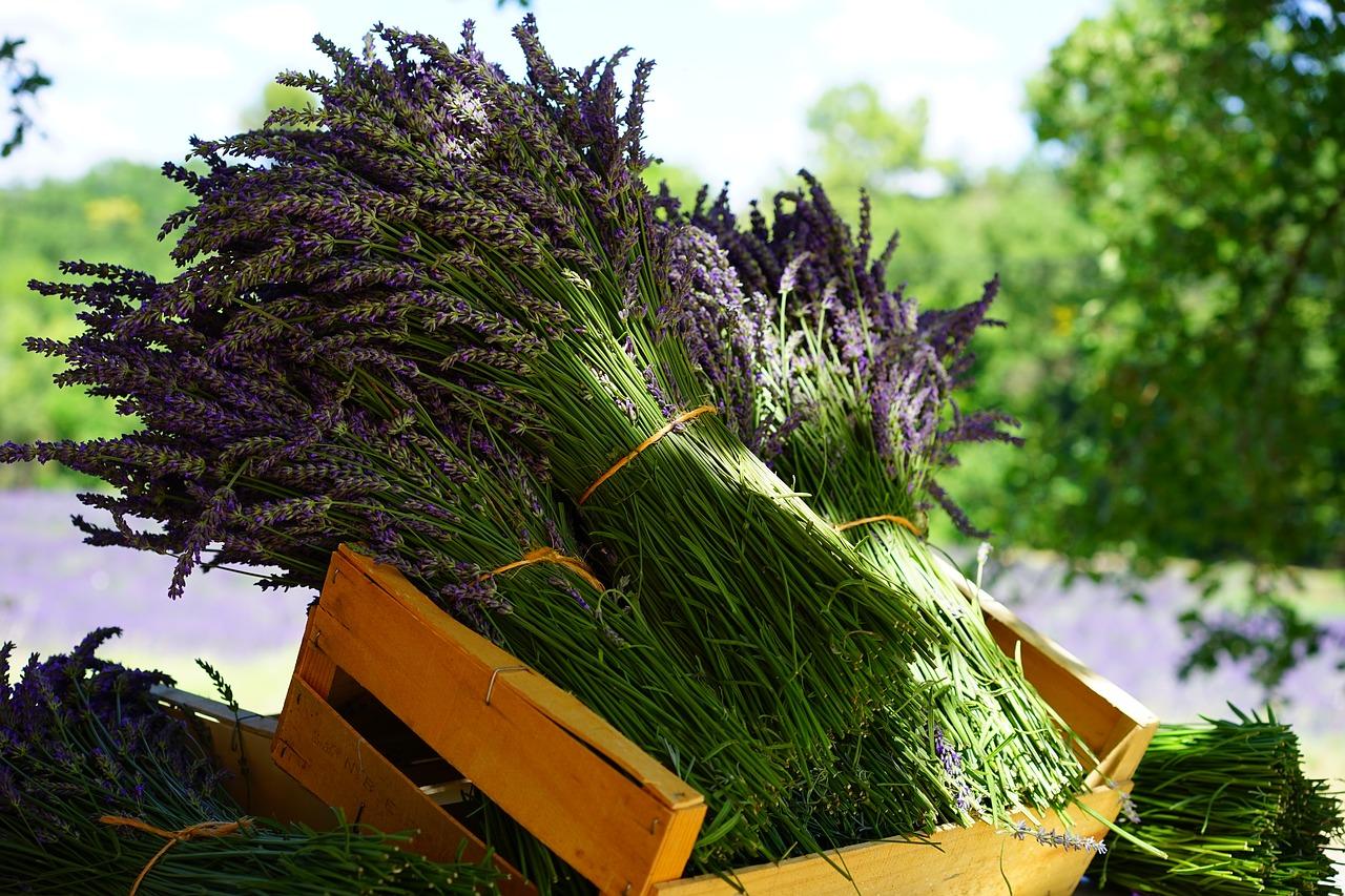 lavender-harvest-GardensAll