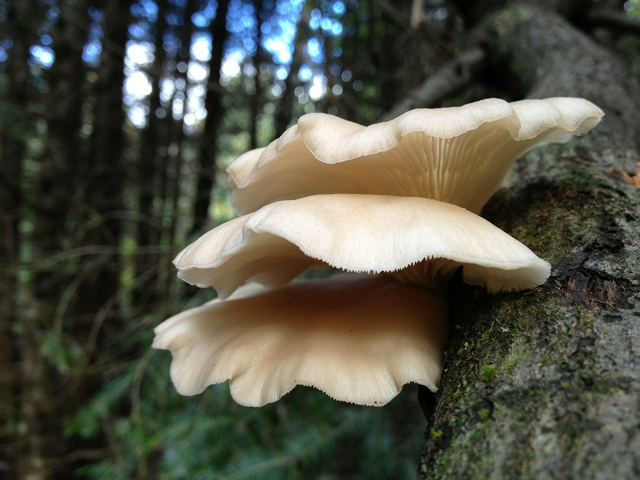 oyster-mushrooms-growing-on-tree