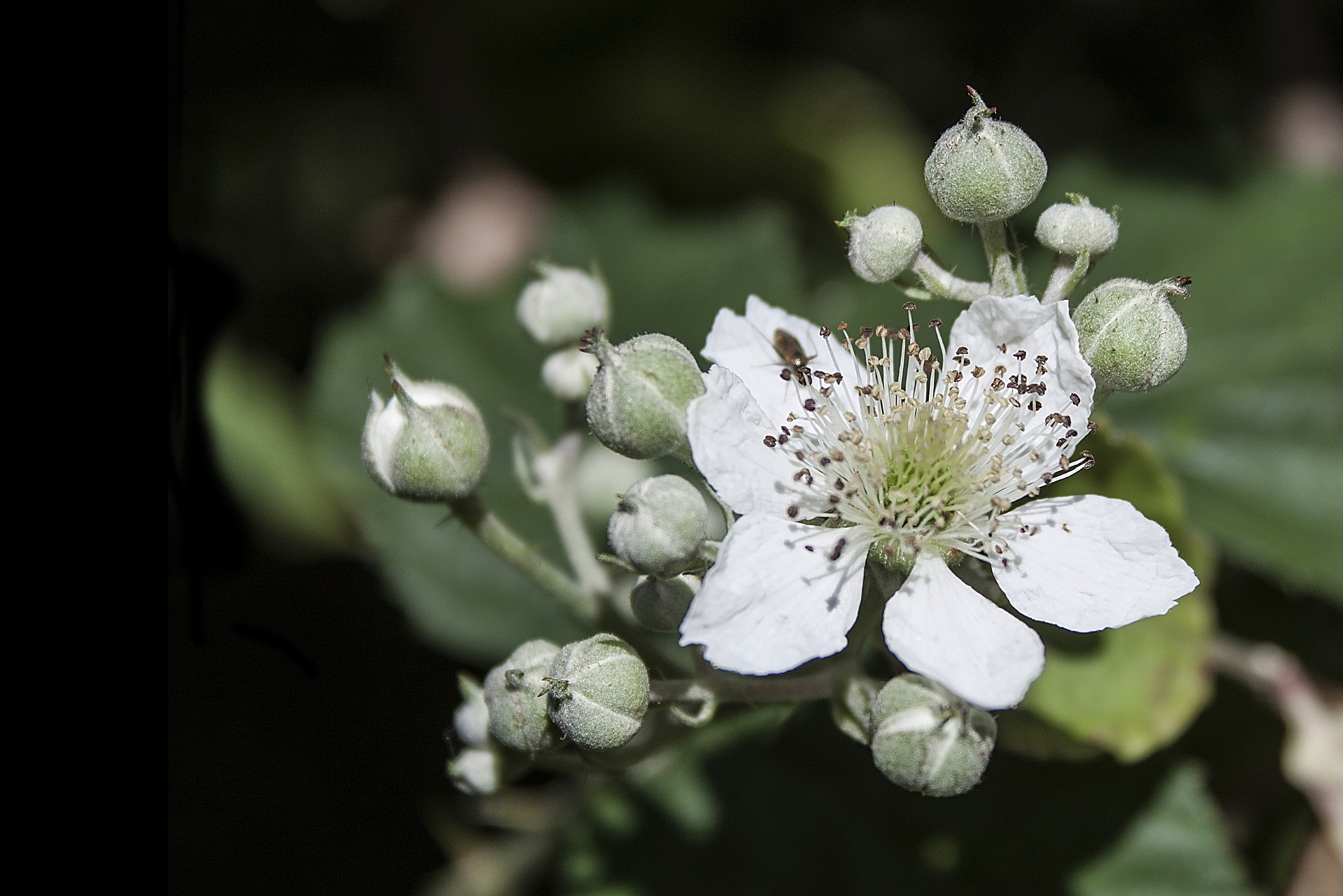 Blackberry blossoms GardensAll.com