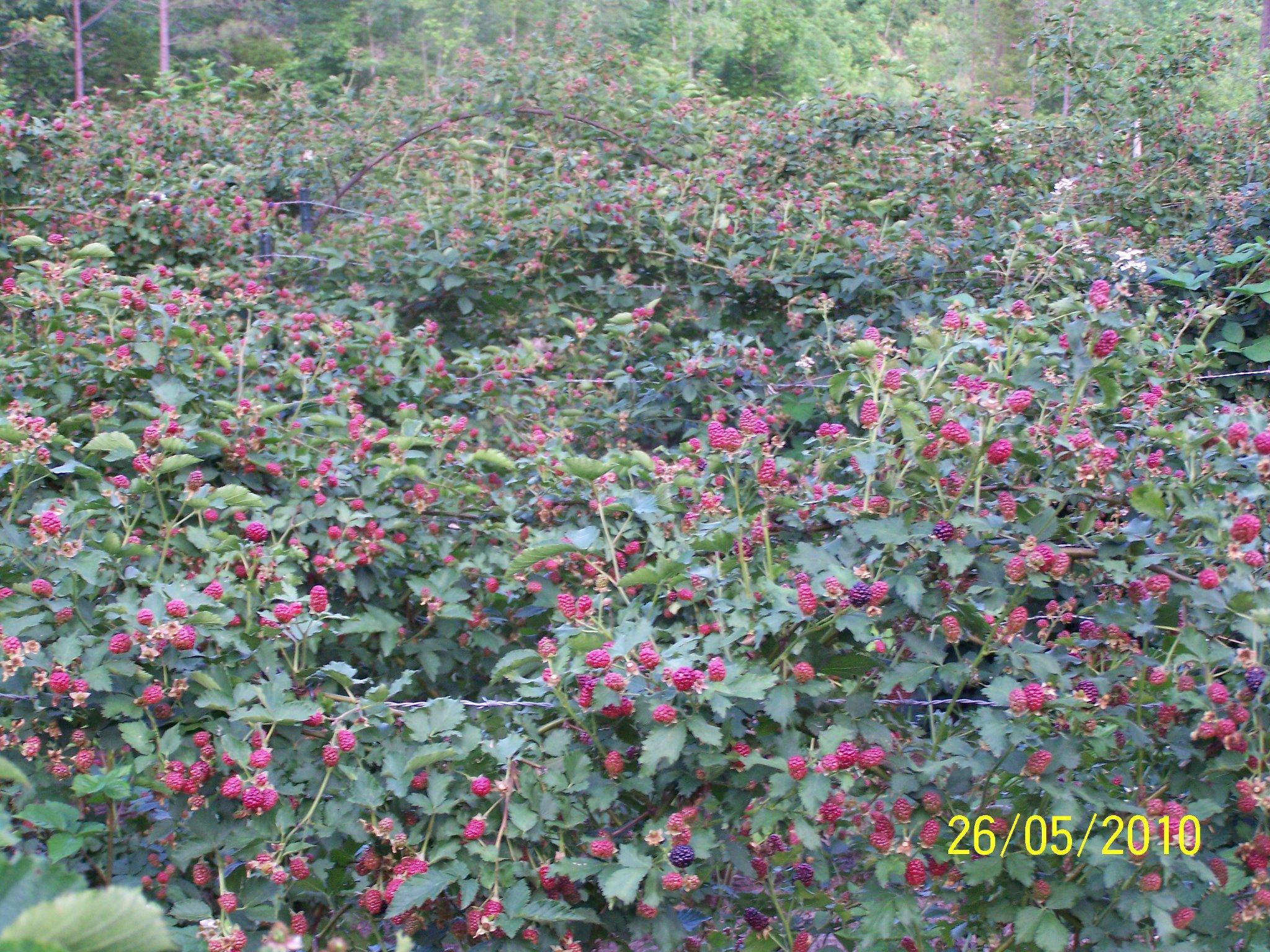 Hays-Berry-Farms_Ripening