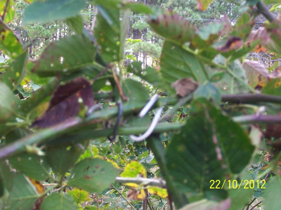 Hays-Berry-Farms_plant-ties