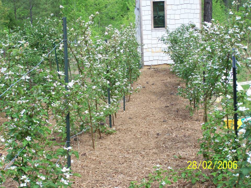 Hays-Berry-Farms_rows-blossoms-shed