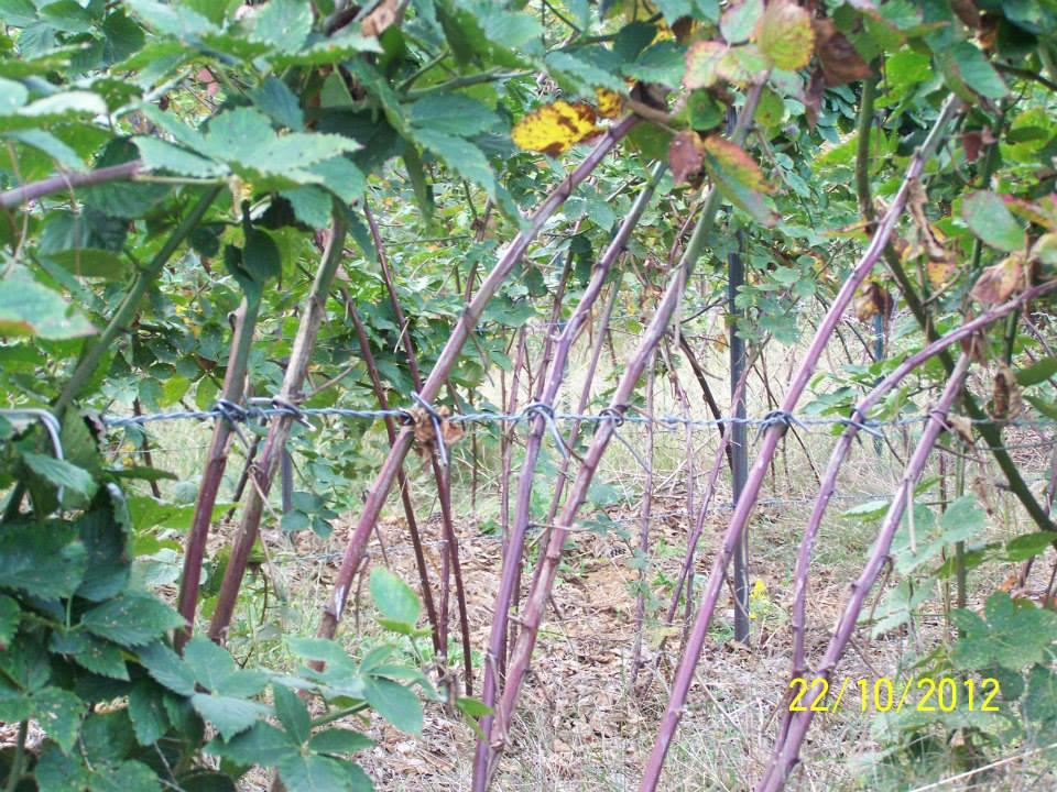 Hays-Berry-Farms_trellised-tied