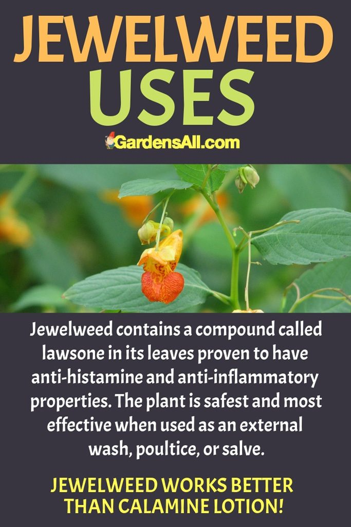 Jewelweed contains a compound called lawsone in its leaves proven to have anti-histamine and anti-inflammatory properties. The plant is safest and most effective when used as an external wash, poultice, or salve. #Jewelweed #MedicinalPlantsAndHerbs #NaturalRemedies #MedicinalPlants #BeneficialPlants #HealthBenefits #Remedies