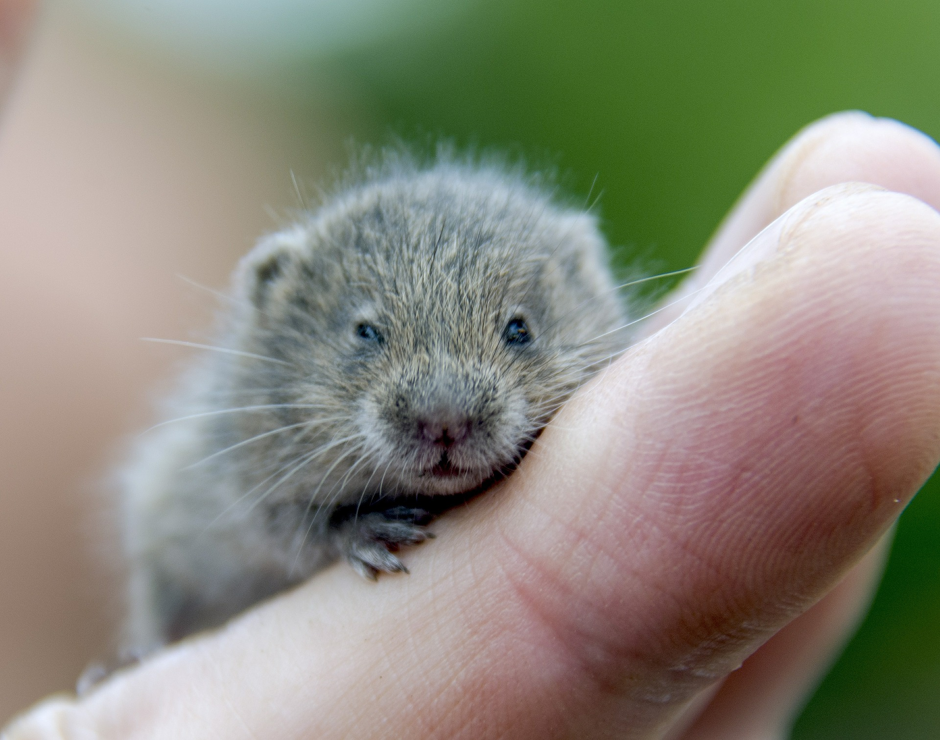 What do voles look like?