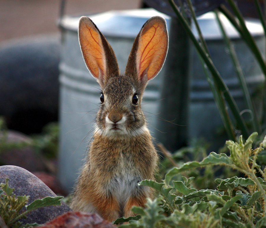 Rabbit-repellents-gardensAll.com