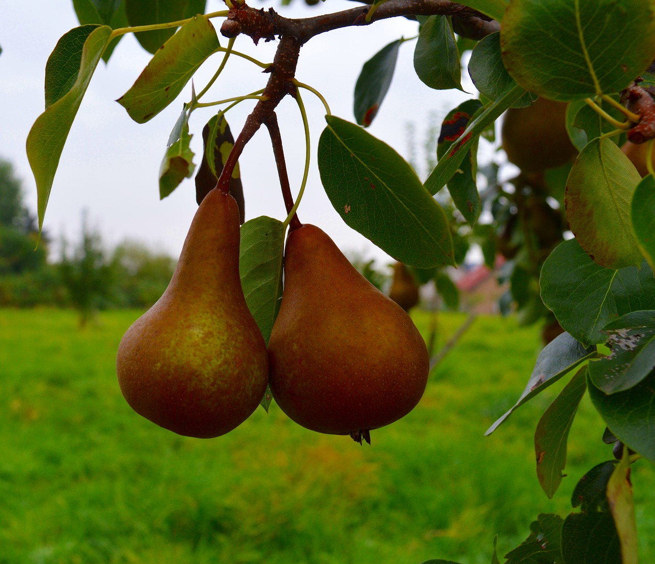 Two Ripe pear hanging on a tree, ready to pick
