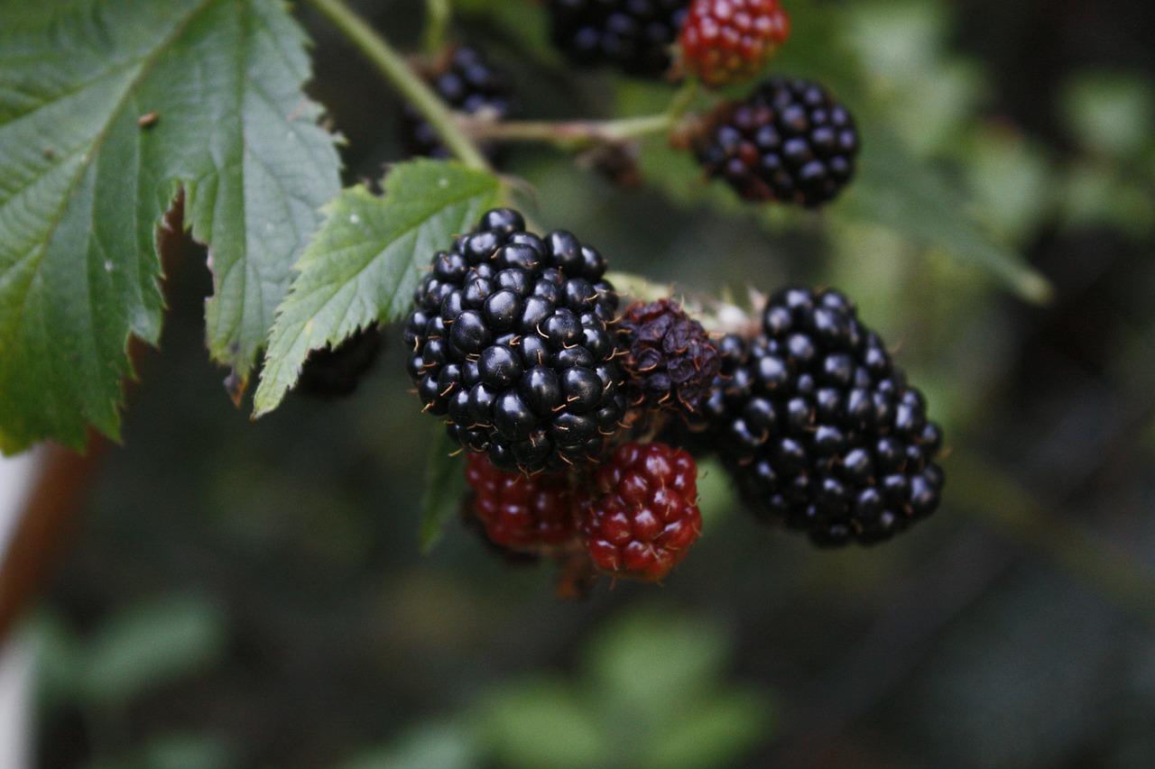 blackberries-ripening-closer