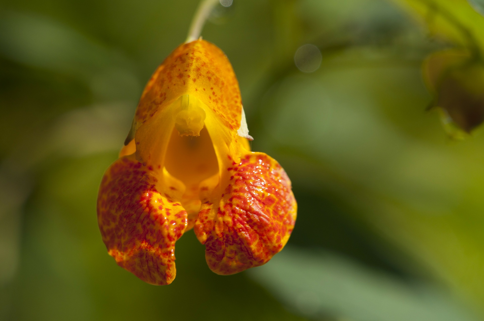Spotted orange Jewelweed flower