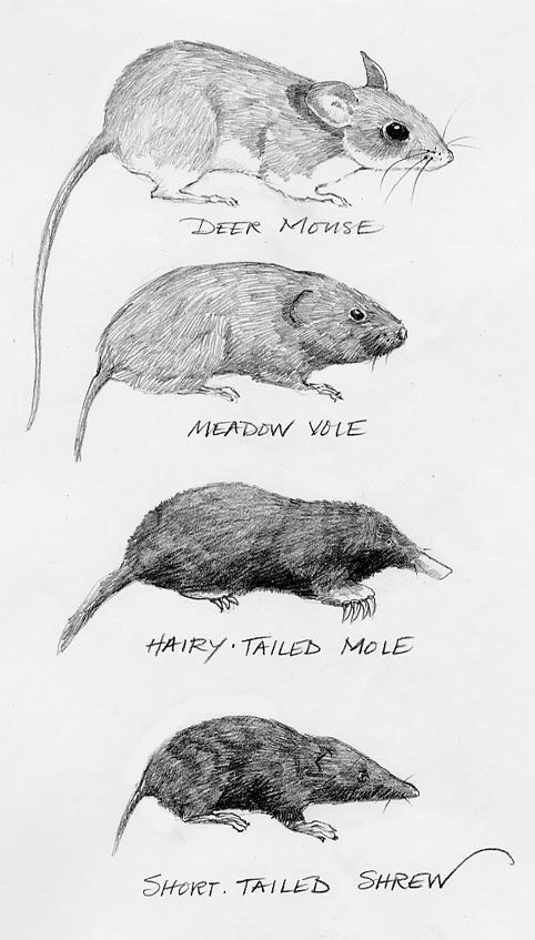 Vole image, Voles, moles, shrew and deer mouse