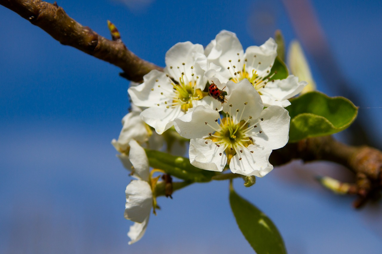 Lovely pear blossoms