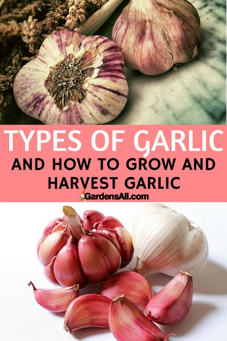 Garlic contains allicin, a sulfur compound with many health benefits. Medicinal benefits of garlic include cardiovascular health, inflammation, antibacterial, antiviral, cancer prevention, expectorant, immune enhancer, and helpful in iron metabolism.